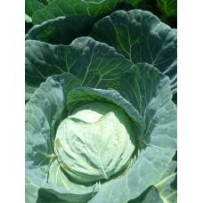 Cabbage - Tsavorite F1